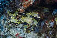 Blackspotted rubberlip-Gaterin à points noirs (Plectorhinchus gaterinus), Red Sea, Sudan.