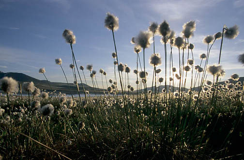 Alaska, Wildflowers, Cotton Grass, (Eriophorum scheuchzeri Hoppe) Arctic.