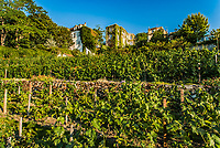 vineyard of Montmartre in the city of Paris in france