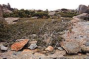 Lateral Growth, Mount Wellington - Tasmania