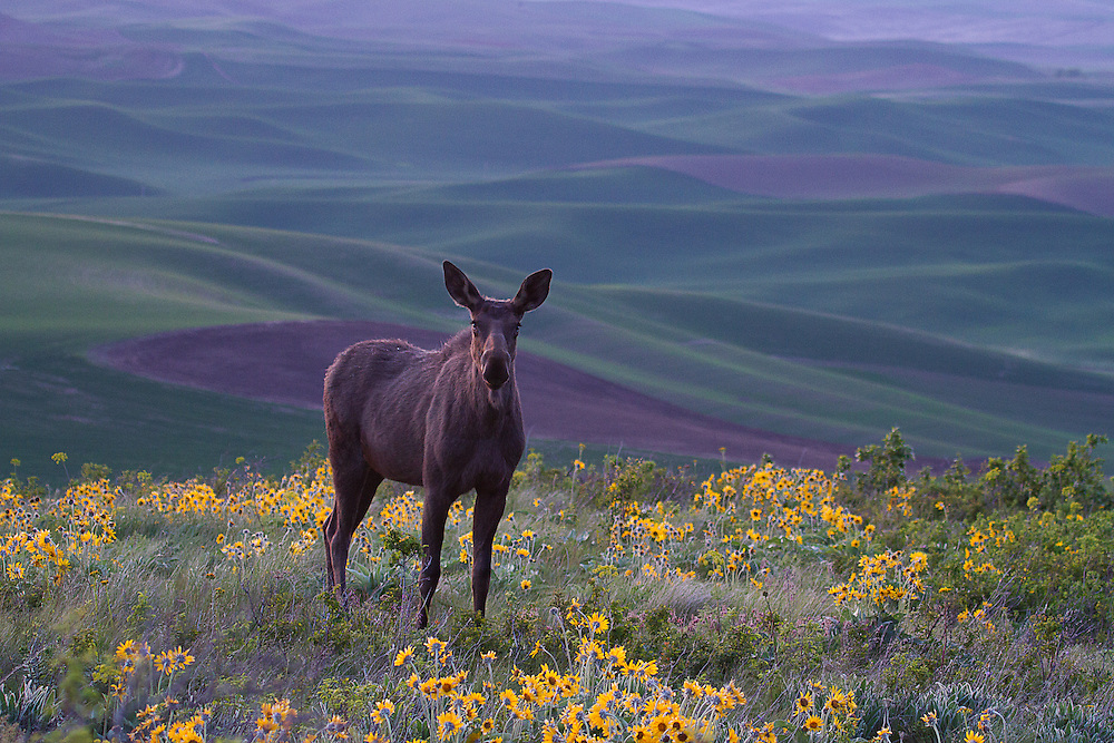 A female moose, Alces alces, in a strange location - the Palouse in Eastern Washington.