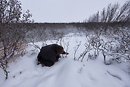 Lyonya, a Nenets Reindeer herder, checks on a rabbit snare that he has set up near his families chum on the Yamal Peninsula in Siberia.