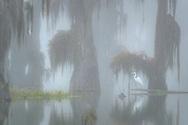 USA; Deep South; Louisiana; St. Martin Parish; Lake Martin; Cypress swamp in fog