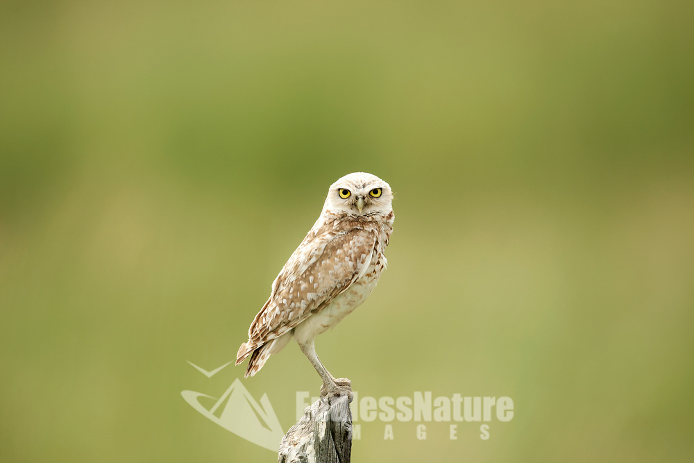 A Burrowing Owl perched on a fence post watches for insects in the early July sun.