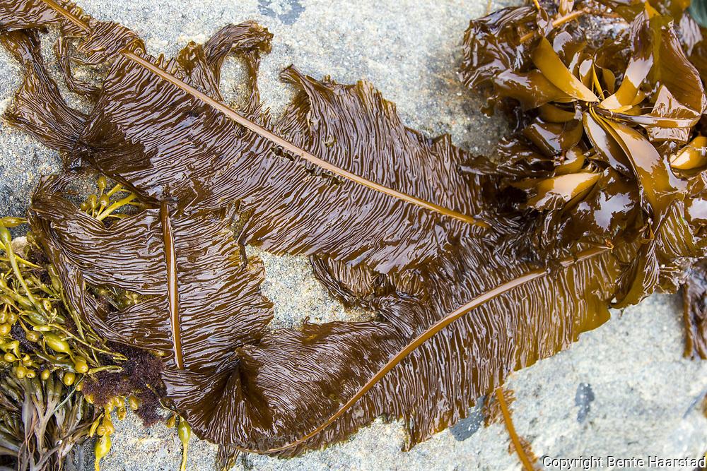 Butare (Alaria esculenta) opptil tre meter fj&aelig;rlignende tare som tidligere ble brukt til husdyrfor, menneskef&oslash;de og gj&oslash;dsel. Kjennes p&aring; stilken i midten. Liker best vann kaldere enn 16 grader med mye b&oslash;lger, fra Mandal og nord til Finnmark. <br /> Butare er, som andre tarer festet med flere tr&aring;der (heptar) til fast fjell. Stilken (stipes) er kort. Ulikt de andre tarene f&aring;r stilken p&aring; butaren sporofyller, som er to rader med sm&aring; m&oslash;rkebrune blader fylt med sporer til formering. Et annet s&aelig;rtrekk er at stilken fortsetter som en del av avlange bladet (lamina) som utgj&oslash;r det meste av butaren: Det blir opptil 20 cm bredt, flere meter langt, og fornyer seg hvert &aring;r vinterstid. Bladet vokser raskt fra januar til mai. Alaria esculenta, an edible seaweed, also known as dabberlocks or badderlocks, or winged kelp. It is a traditional food along the coasts of the far north Atlantic Ocean. It may be eaten fresh or cooked in Greenland, Iceland, Scotland and Ireland.