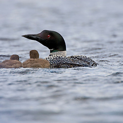 A common loon, Gavia immer, with two chicks on East Inlet in Pittsburg, New Hampshire.  A pond upstream of Second Connecticut Lake.