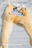 01874-13306 Polar Bears (Ursus maritimus) sparring Churchill Wildlife Management Area Churchill MB