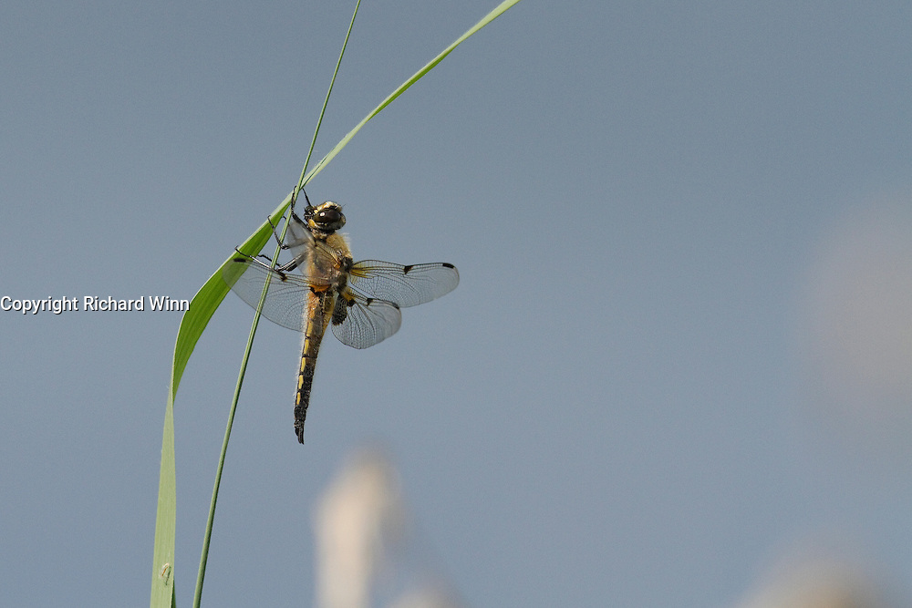 Male four spotted chaser resting on a reed at the edge of Decoy Lake, Shapwick Heath