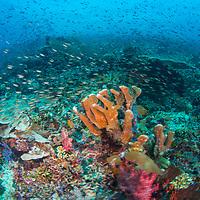 Schools of fish over coral reef, Komodo Island, Indonesia.