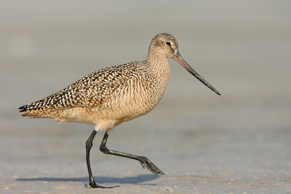 Marbled Godwit - Limosa fedoa - breeding adult