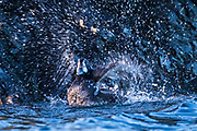 A female harlequin duck (Histrionicus histrionicus) splashes in the water to shower off West Beach in Deception Pass State Park on Whidbey Island, Washington. During the winter months, harlequin ducks are found along the northern Pacific and Atlantic coasts, most commonly along rocky coastlines in the crashing surf.