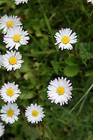 Daisies in grass