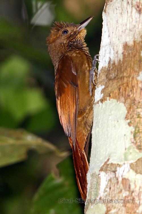 Tawny-winged Woodcreeper, Dendrocincla anabatina, Tikal, Guatemala
