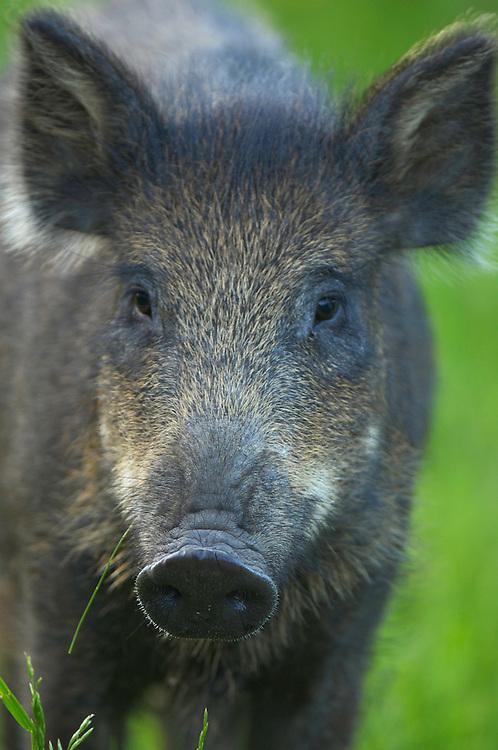 Wild boar (Sus scrofa), young, Surahammar, Västmanland, Sweden