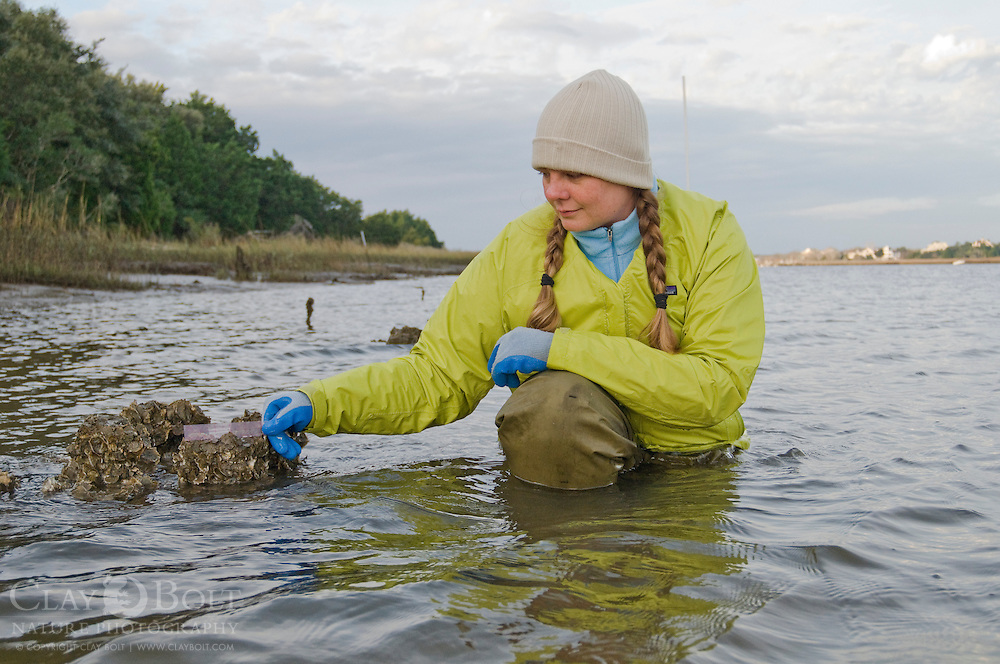 TNC Marine Restoration Specialist Joy Brown Measures Oyster Growth against the rising tide, five months after the oyster castles were first installed.