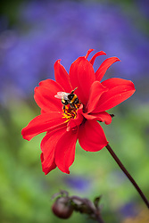Dahlia 'Bishop of Llandaff' AGM with bee