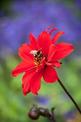 Dahlia 'Bishop of Llandaff' AGM with bee