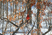 Photo of a male Northern Cardinal.