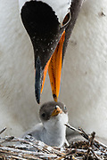 A Gentoo penguin, Pygoscelis papua, with its chick.
