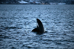 NORWAY TROMSO 5DEC15 - A pod of Orca whales spyhop in Kvaloya Sound near the arctic city of Tromso.<br /> <br /> jre/Photo by Jiri Rezac / Greenpeace<br /> <br /> &copy; Jiri Rezac 2015