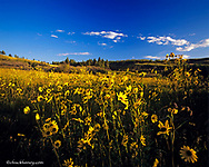 Prairie Sunflowers flourish in the Bears Paw Mountains in Havre Montana