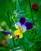 Johnny Jump Up flower. Image taken with a Fuji X-T2 camera and 100-400 mm OIS lens.