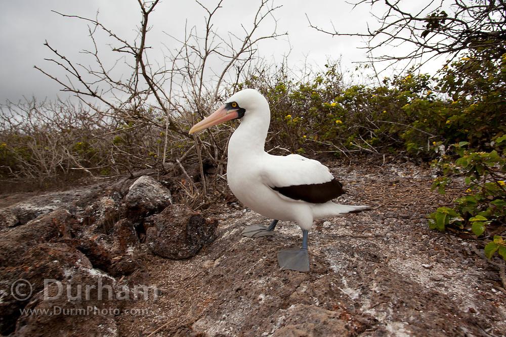 A nazca booby (Sula grunti) on Genovesa Island, Galapagos Archipelago - Ecuador.