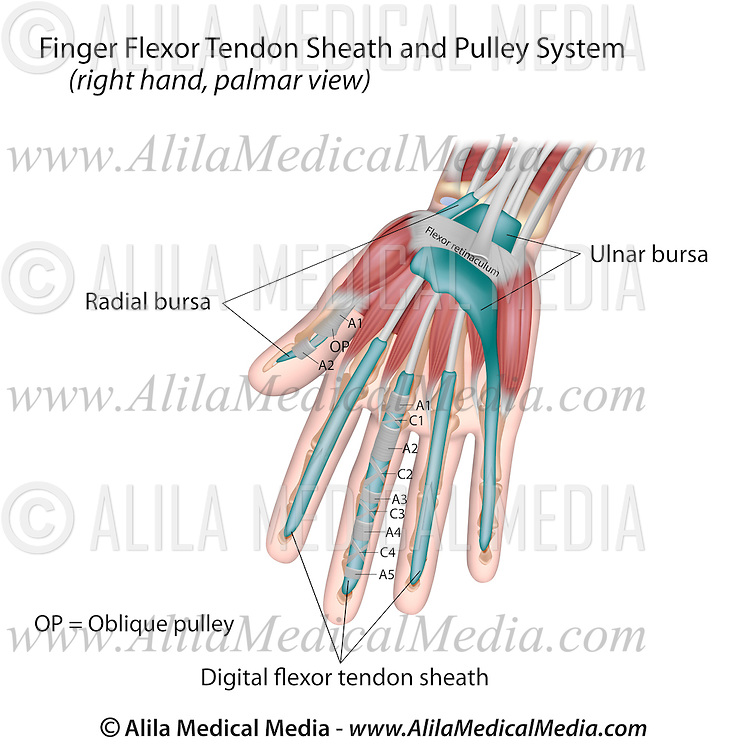 Finger Flexor Tendon Sheath And Pulley System Alila Medical Images