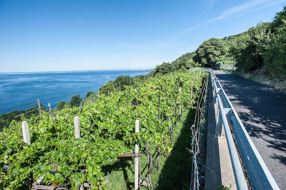 Vineyards facing the sea near Trieste, Italy