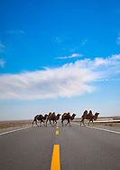 Bactrian camels crossing a road in Yecheng, Xinjiang Uyghur autonomous region, China. Cars speed down this highway in Taklamakan desert but the indolent 2-hump camels totally ignore them. They don't even sway like their ancestors who carried heavy loads of silk for long distances.