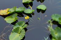 Lily pads on pond. Bluebill Lake, Oregon