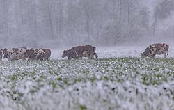 THEMENBILD - Kühe in dichtem Schneegestöber auf einem Feld, aufgenommen am 05. Mai 2019, Kaprun, Österreich // cows in thick snow flurries in a field on 2019/05/05, Kaprun, Austria. EXPA Pictures © 2019, PhotoCredit: EXPA/ Stefanie Oberhauser