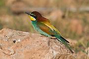 European Bee-eater (Merops apiaster) standing on a rock Sea of Galilee, israel