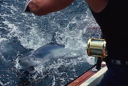 Fisherman In The Atlantic Ocean with a blue shark on the line