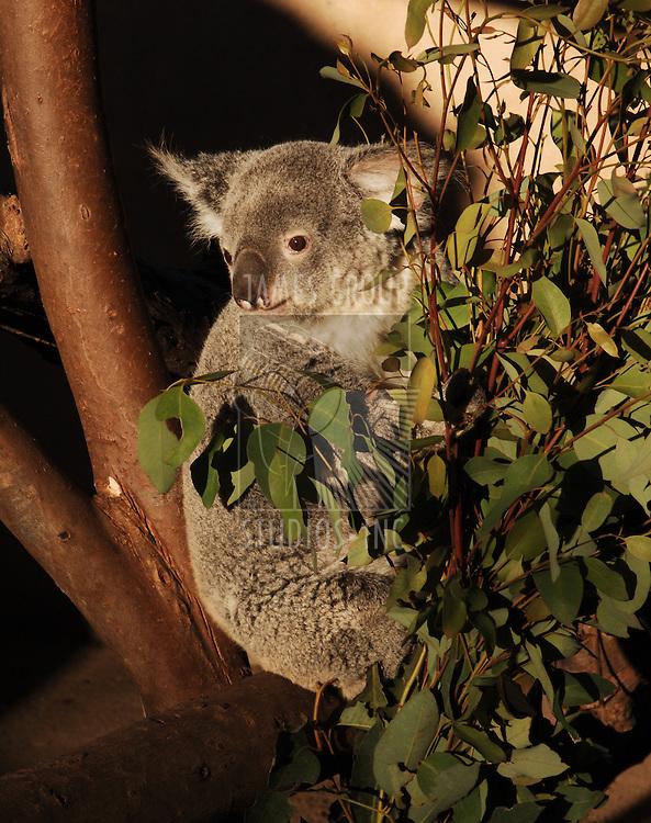 Koala in a tre