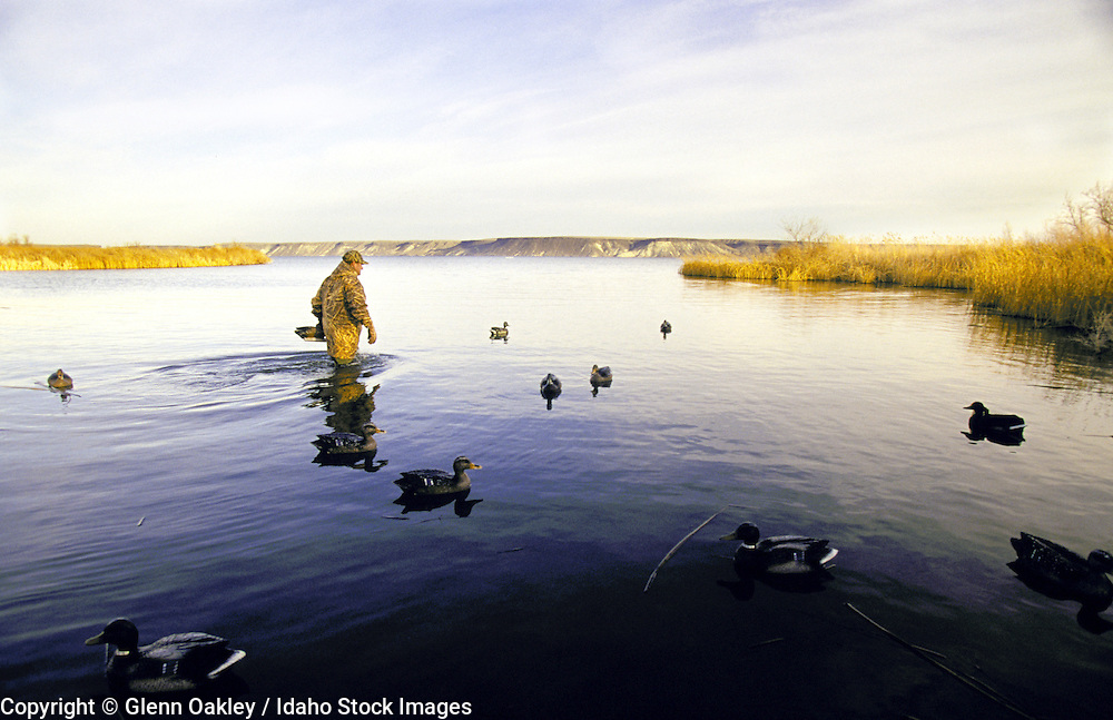 A duck hunter retrieving decoys. MR