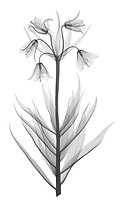 X-ray image of a Fritillaria raddeana (Fritillaria raddeana, black on white) by Jim Wehtje, specialist in x-ray art and design images.