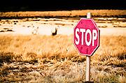 Jackalopes appreciate courtesy, please stop so they can cross.