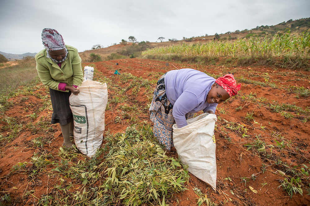 African women harvesting yam plants in the Hhohho region of Swaziland, Africa.