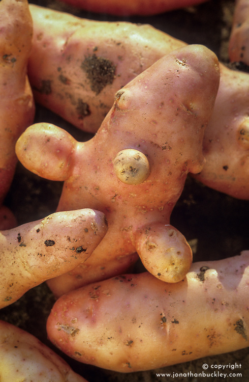 Solanum tuberosum 'Pink Fir Apple' - Salad potato