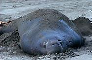 USA, Vereinigte Staaten Von Amerika: Nördlicher See-Elefant (Mirounga angustirostris), See-Elefantenbulle mit Sand bedeckt, der kühle Sand dient der Thermoregulation, die dicke Speckschicht, die unter Wasser gegen Kälte isoliert, überhitzt dagegen an Land leicht den Organismus, Strand direkt neben California State Route 1, San Simeon, Kalifornien | USA, United States Of America: Northern Elephant Seal (Mirounga angustirostris), bull elephant seal covered with sand, cool sand serving as thermoregulation, thick layer of blubber isolated against cold under water but overheated the organism on land, beach directly next to Cabrillo Highway 1, San Simeon, California |