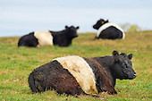 Belted Galloway Herd in London Grove