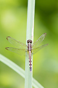 Dragonfly perched on twig, Manglares Churute