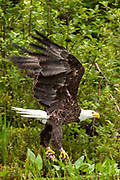 An American Bald Eagle carries a fish in their talons caught in Trout Lake in the Northwoods village of Boulder Junction, Wisconsin.