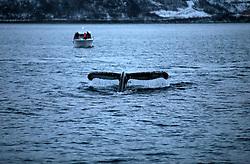 NORWAY TROMSO 5DEC15 - A Humpback whale shows its fluke before diving in Kvalsoya Sound near the arctic city of Tromso.<br /> <br /> jre/Photo by Jiri Rezac / Greenpeace<br /> <br /> © Jiri Rezac 2015