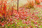 Shrubs in autumn color, Winnipeg, Manitoba, Canada