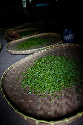 Freshly Picked Tea Leaves Drying on Bamboo Mat