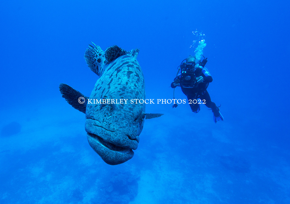 """""""Cuddles"""" the Pototo Cod poses for a photo at Cod Hole on Mermaid Reef."""