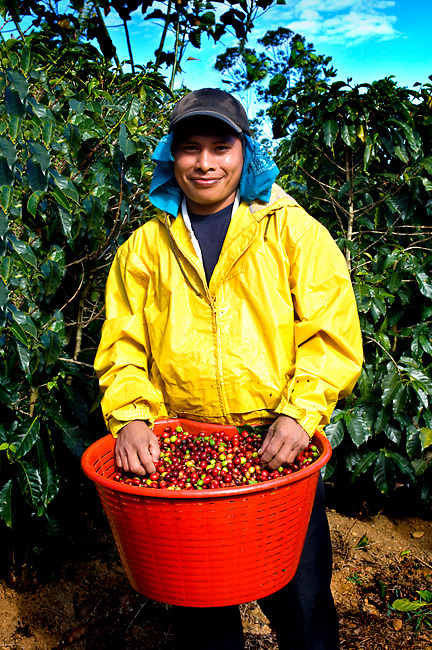 Costa Rica / Tarrazu Valley / Coffee Picker / Panamanian Indian / Basket Full of Hand Picked Coffee Cherries