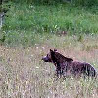 Face Off! Bear stops running to check out the possible danger. Yellowstone National Park, Wyoming.